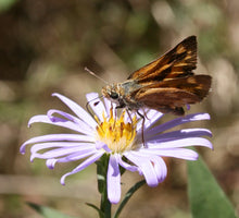 Load image into Gallery viewer, Woodland skipper butterfly sits atop a Douglas Aster flower (Symphyotrichum subspicatum / Aster subspicatum). Another stunning Pacific Northwest native plant available at Sparrowhawk Native Plants Nursery in Portland, Oregon.