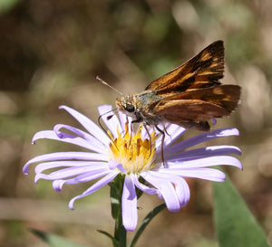 Woodland skipper butterfly sits atop a Douglas Aster flower (Symphyotrichum subspicatum / Aster subspicatum). Another stunning Pacific Northwest native plant available at Sparrowhawk Native Plants Nursery in Portland, Oregon.