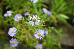Close-up of Douglas Aster plant (Symphyotrichum subspicatum / Aster subspicatum). Another stunning Pacific Northwest native plant available at Sparrowhawk Native Plants Nursery in Portland, Oregon.