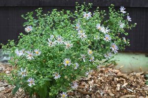 Symphyotrichum subspicatum, Aster subspicatum, Douglas' Aster, Pacific Northwest Native Plants, Oregon Native Plants, Sparrowhawk Native Plants