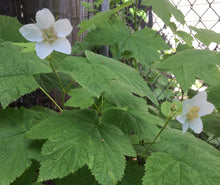 Load image into Gallery viewer, Rubus parviflorus, Thimbleberry, Pacific Northwest Native Plants, Oregon Native Shrub, Sparrowhawk Native Plants, Portland