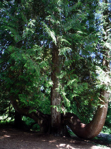 Oregon's native Western Red Cedar tree (Thuja plicata). One of 100+ species of Pacific Northwest native plants available at Sparrowhawk Native Plants, Native Plant Nursery in Portland, Oregon.