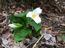 Load image into Gallery viewer, Trillium ovatum, Western Trillium, Pacific Northwest Native Plants, Oregon Native Plant, Sparrowhawk Native Plants, Portland