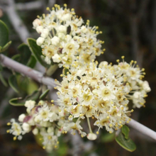 Load image into Gallery viewer, Close-up of Buckbrush flower (Ceanothus cuneatus). Another stunning Pacific Northwest native shrub available at Sparrowhawk Native Plants Nursery in Portland, Oregon.