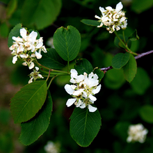Load image into Gallery viewer, Close-up bright white flowers of Oregon's native Western Serviceberry (Amelanchier alnifolia). One of 100+ species of Pacific Northwest native plants available at Sparrowhawk Native Plants, Native Plant Nursery in Portland, Oregon.