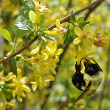 Load image into Gallery viewer, Bumblebee visits the bright yellow flowers of a Golden Current (Ribes aureum). Another stunning Pacific Northwest native plant available at Sparrowhawk Native Plants Nursery in Portland, Oregon.