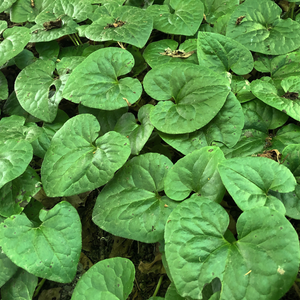 Heart shaped leaves of Wild Ginger (Asarum caudatum). One of 100+ species of Pacific Northwest native plants available at Sparrowhawk Native Plants, Native Plant Nursery in Portland, Oregon.