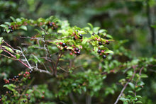 Load image into Gallery viewer, Vaccinium ovatum, Evergreen Huckleberry, Pacific Northwest Native Plants, Oregon Native Plant, Sparrowhawk Native Plants