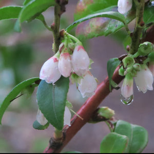 Vaccinium ovatum, Evergreen Huckleberry, Pacific Northwest Native Plants, Oregon Native Plant, Sparrowhawk Native Plants