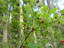 Load image into Gallery viewer, Vaccinium parvifolium, red huckleberry