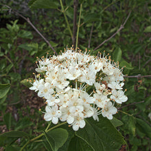 Load image into Gallery viewer, Viburnum ellipticum, Oval-leaved Viburnum, Pacific Northwest Native Plants, Oregon Native Plant, Sparrowhawk Native Plants, Portland