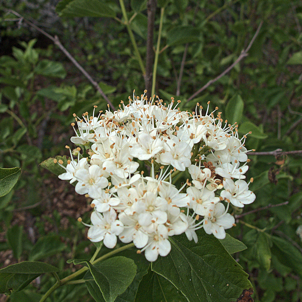 Viburnum ellipticum, Oval-leaved Viburnum, Pacific Northwest Native Plants, Oregon Native Plant, Sparrowhawk Native Plants, Portland