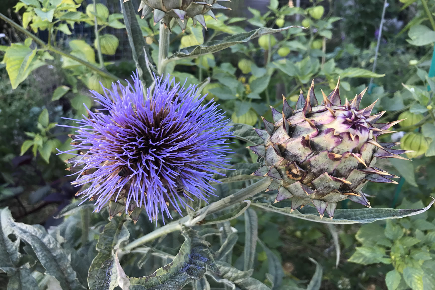 cardoon seed pods