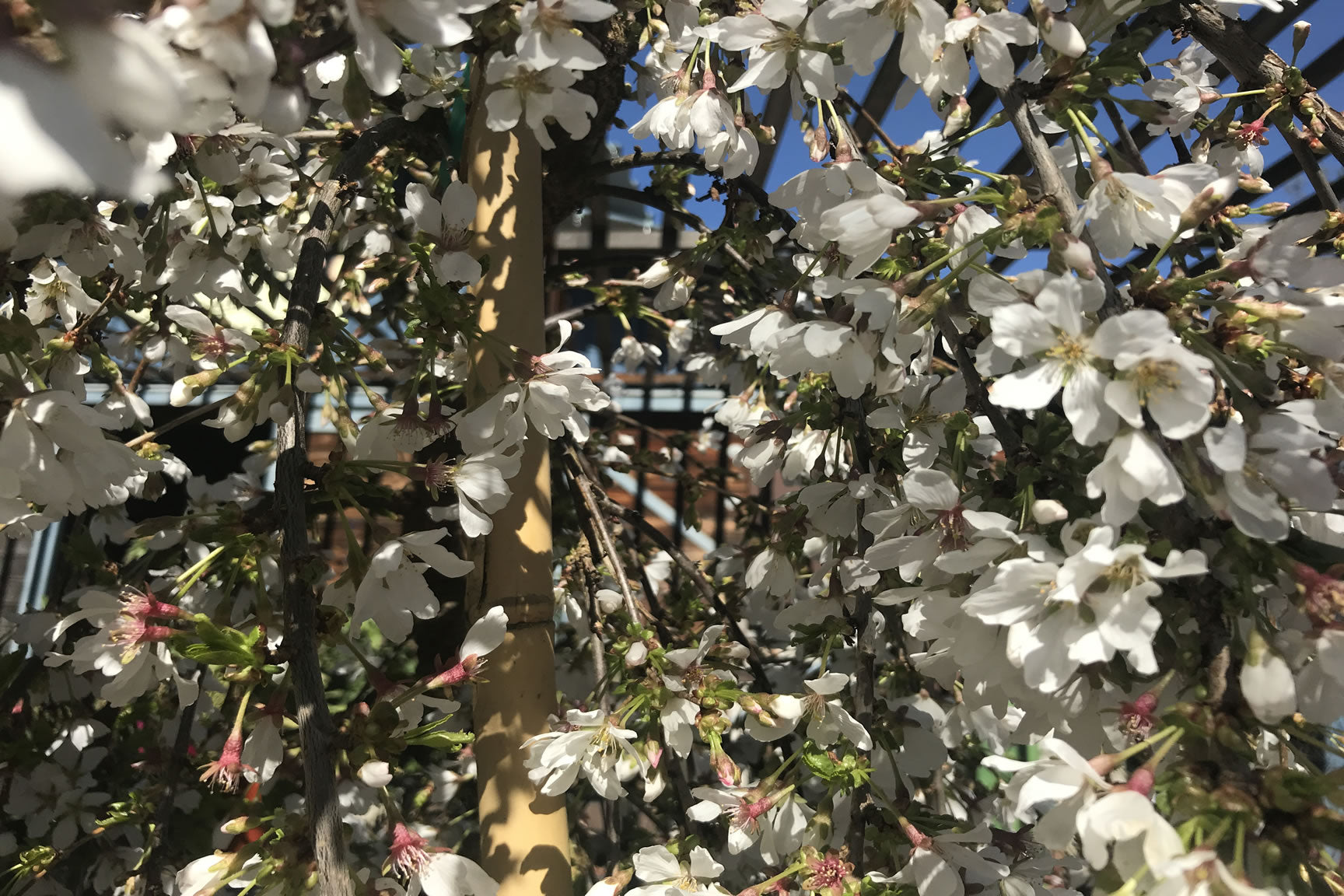 Garden Notes, March 2018: Peas and Quandrys, Helpful Gardening ...