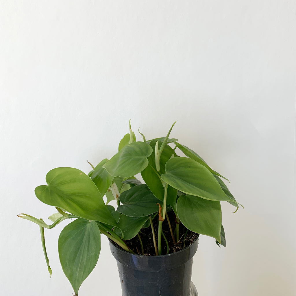 Philodendron Scandens 'Heart Leaf Plant'