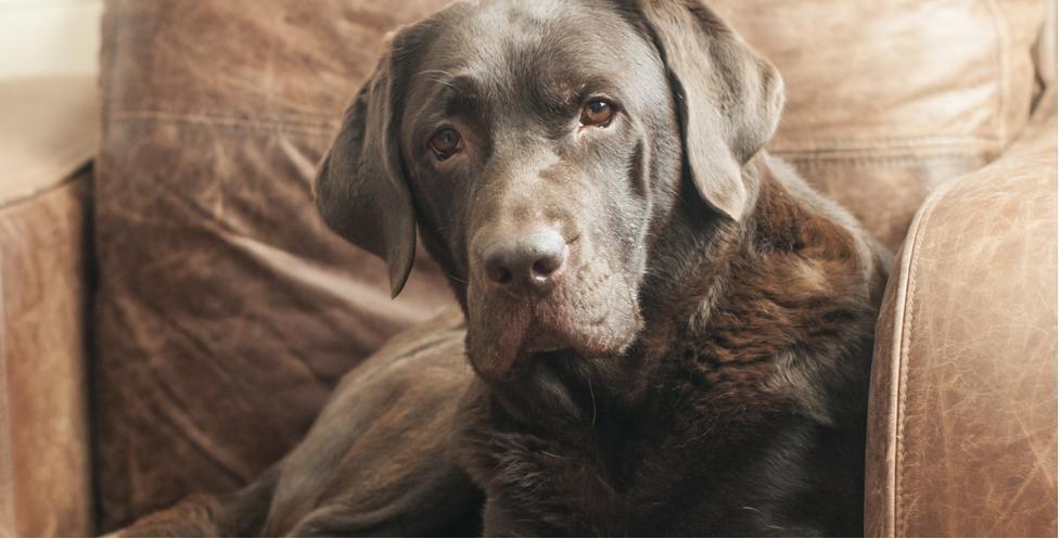 arthritis in dogs and joint pain