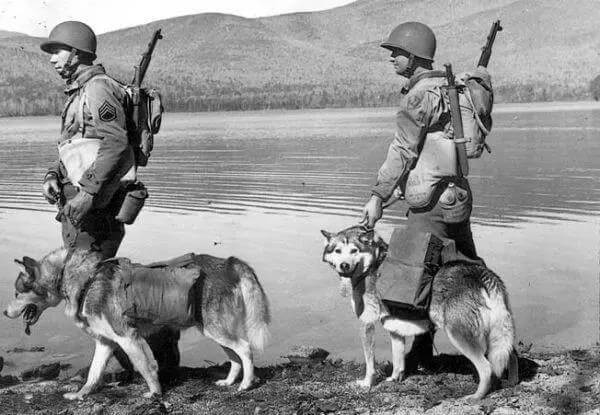 Husky : From Military Dog to The Funniest Dog