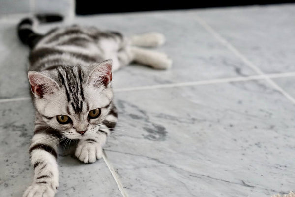 American shorthair cat dark pattern