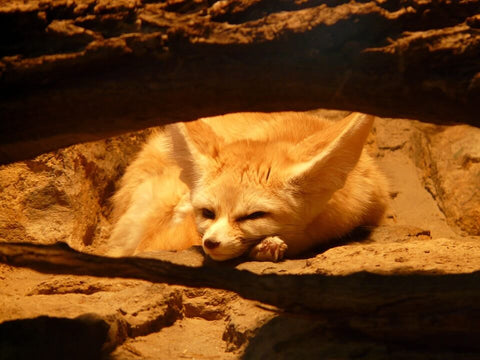 Smallest canine Fennec fox