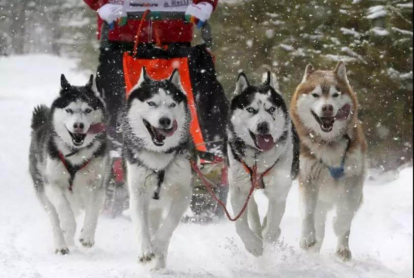Husky working dog for sledding