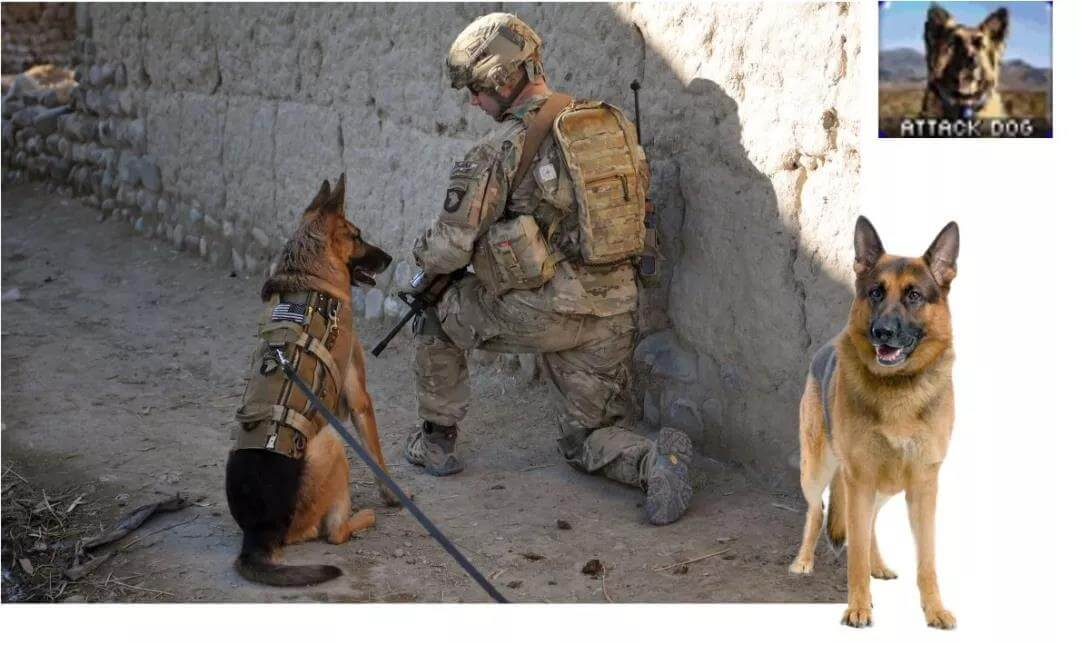 US military dog german shepherd