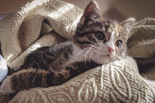 brown-tabby-cat-lying-down-on-gray-bed-sheet