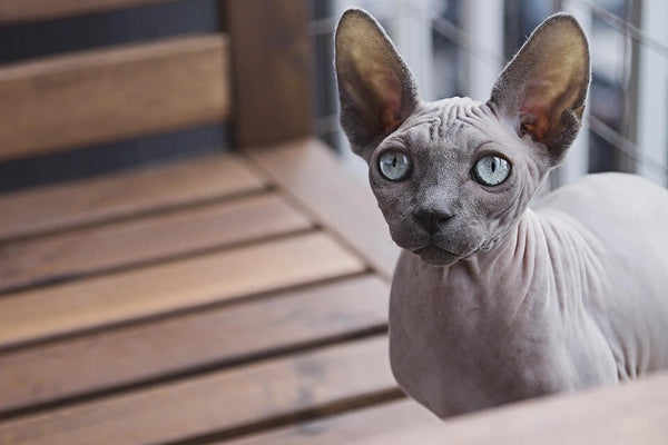 sphynx cat hairless cat