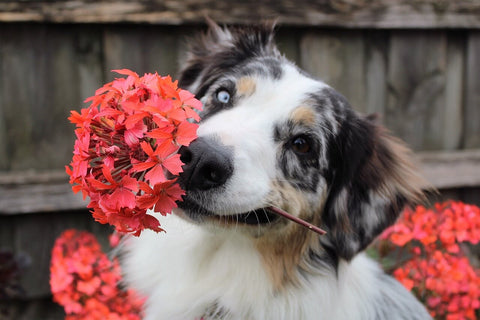 dog with red flower