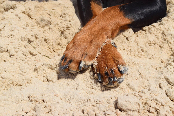 Dog paw in beach