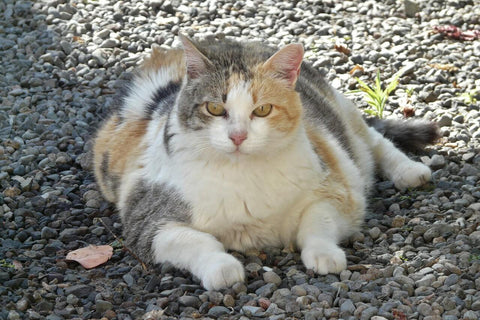 fat cat big cat outdoor