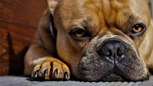 frenchbull dog sad face and paw
