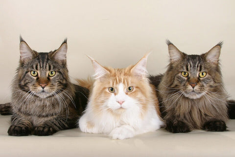 maine coon cat friendly