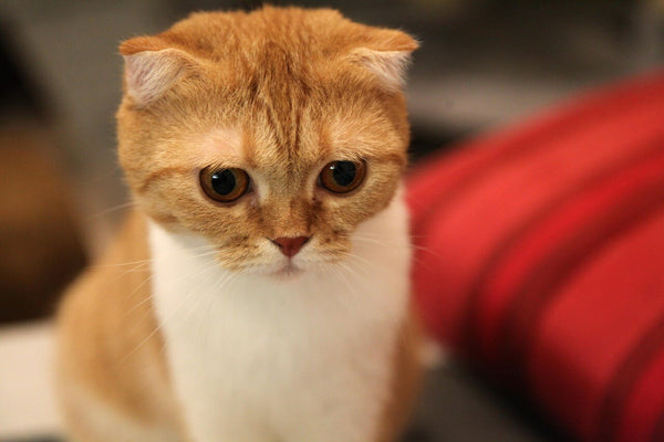 orange scottish fold kitten