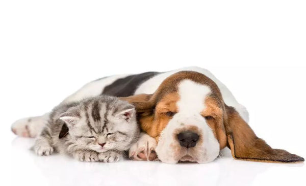 kitten and dog sleep