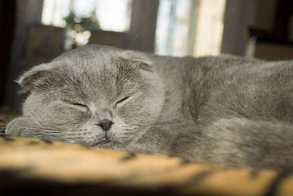 russia blue scottish fold cat fold ear kitten sleeping