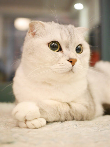 Scottish fold cat silvery colour