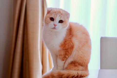 scottish fold ear cat seat in front of window