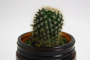Cactus in recycle amber candle jar