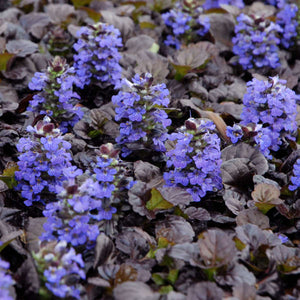 Ajuga- Black Scallop