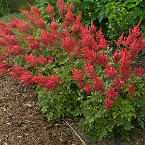 Astilbe - August Light