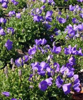 Campanula - Carpatica Blue Clips