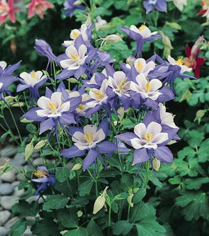 Aquilegia (Columbine) - Blue Star