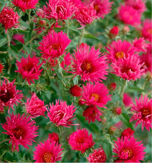 Aster - September Ruby