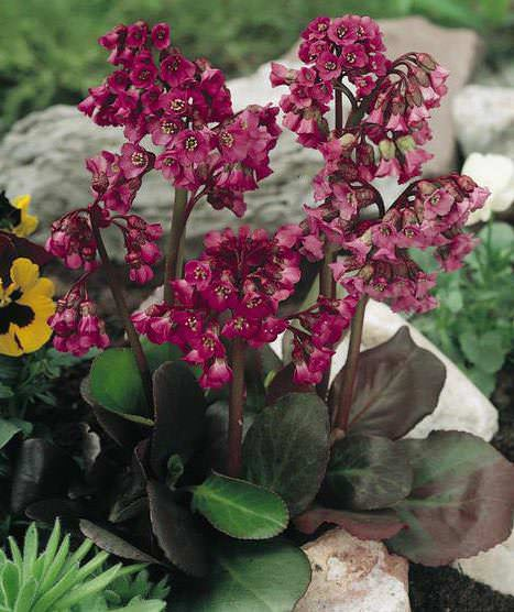 Bergenia - Red Beauty