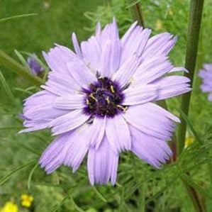 Catananche - Cupids Dart