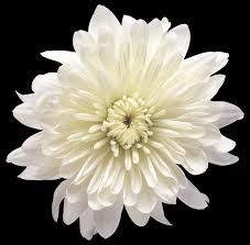 Chrysanthemum - Cracker Jack