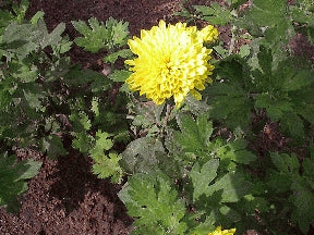 Chrysanthemum - Yellow Cushion