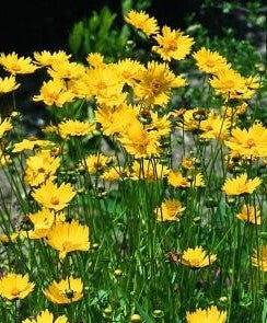 Coreopsis - Mayfield Giant