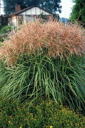Grasses - Miscanthus (Northern Pampas Grass)