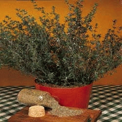 Herb - Thyme, Culinary